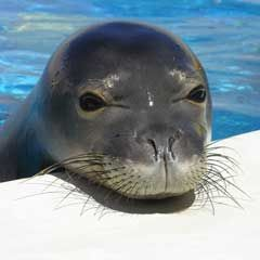 The Marine Mammal Center : Save the Hawaiian Monk Seal! Great news for Monk Seals!!!!!