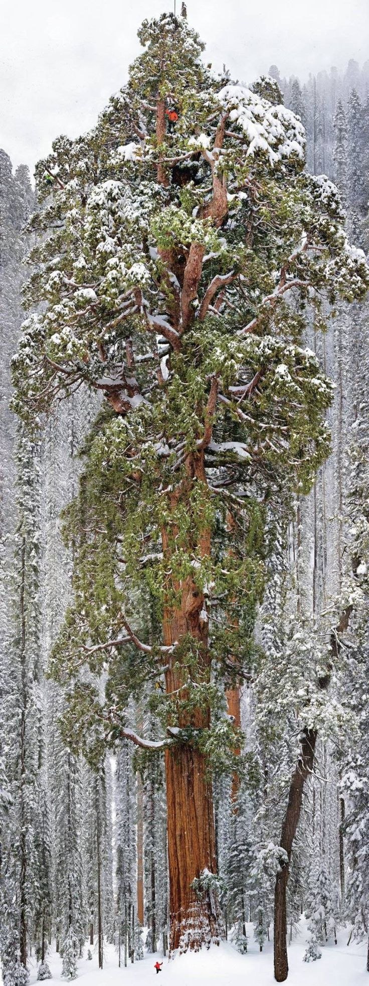 "Say Hello To ""The President"", The 3,200 Year Old Tree. Peeking out above the Sequoia National Park in the Sierra Nevada mountain range is a tree aptly called ""The President"". The tree extends an incredible 247 feet–or over 20 stories–into the sky and needs to be seen to be truly understood."