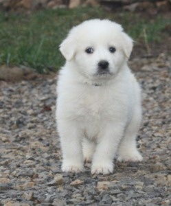 GREAT PYRENEES PUPPIES - They look like polar bears!