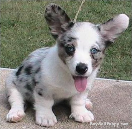 welsh corgi dogs for sale   Weet Hearted Cardigan Welsh Corgi Puppies For Sale. in Dc