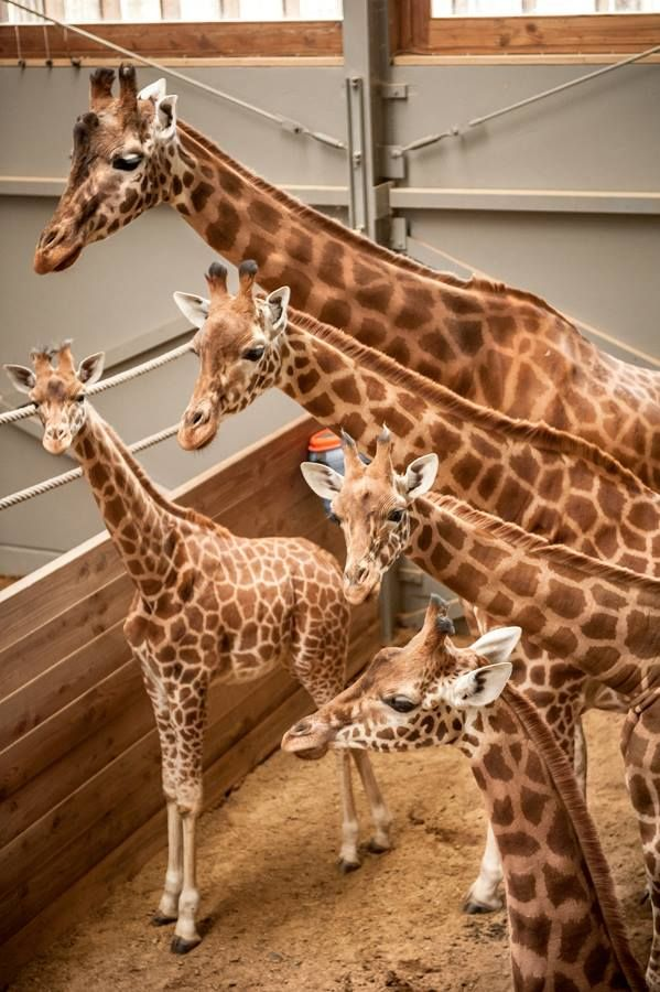 Planckendael Zoo, in Belgium, recently witnessed the birth of the largest animal ever born at the zoo--just over 6 1/2 feet tall! Learn more, see more: http://www.zooborns.com/zooborns/2015/02/long-tall-baby-born-at-planckendael.html