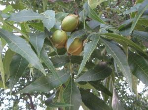 Hickory - Growing & using edible nuts