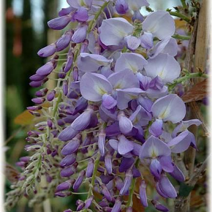 Blauregen Wisteria sinensis veredelt