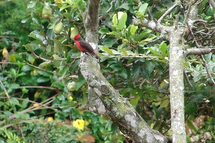 Atrapamoscas Pechirrojo en los bellos paisajes de El Portal, Paraíso Natural.