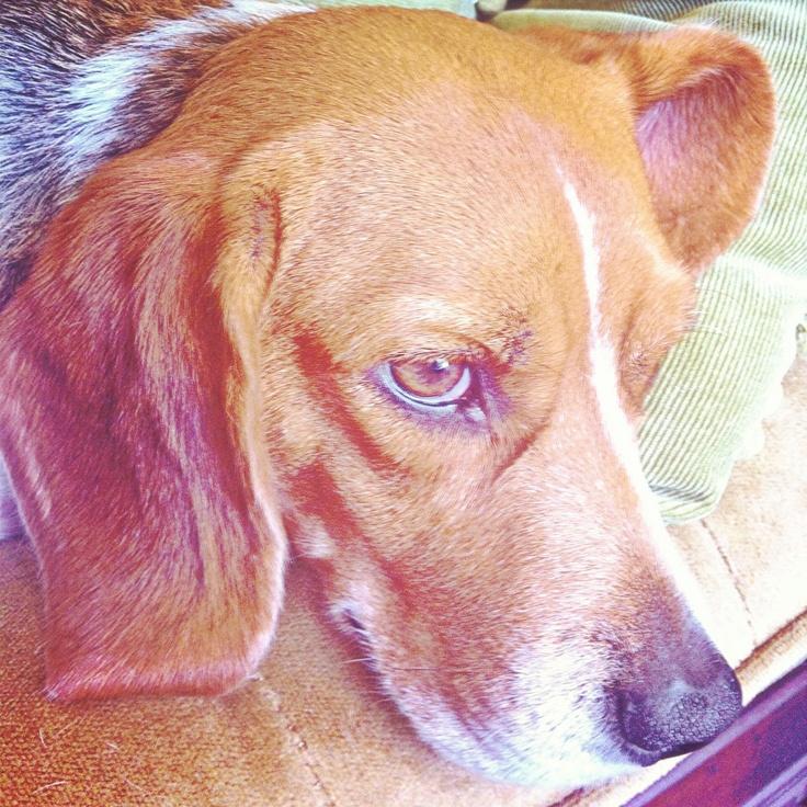 Cici #mostbeatifulbeagle