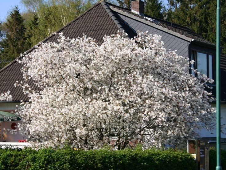 Kupfer Felsenbirne / Amelanchier: ein Wunderbaum, der vom Frühjahr bis Herbst schön aussieht und sogar Früchte trägt!