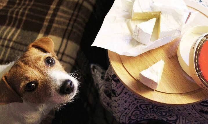 Can My Dog Eat Cheddar Cheese Mozzarella Explore Pets Life Healthy Dog Food Recipes Can Dogs Eat Foods Dogs Can Eat