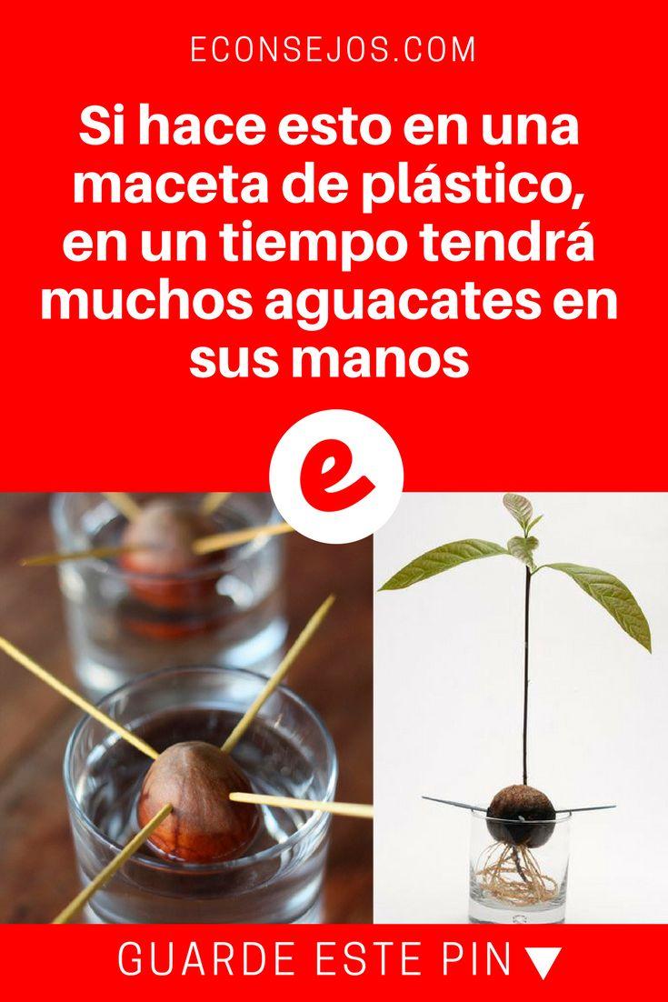 Plantar aguacates | Si hace esto en una maceta de plástico, en un tiempo tendrá muchos aguacates en sus manos | ¿Y que tal sembrar una planta de aguacate o palta dentro de casa y poder disfrutarlas? Sepa cómo.