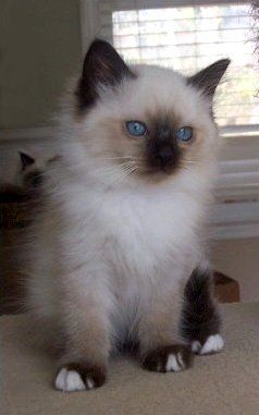 Birman Kitten...Will have one some day :) Tap the link for an awesome selection cat and kitten products for your feline companion!