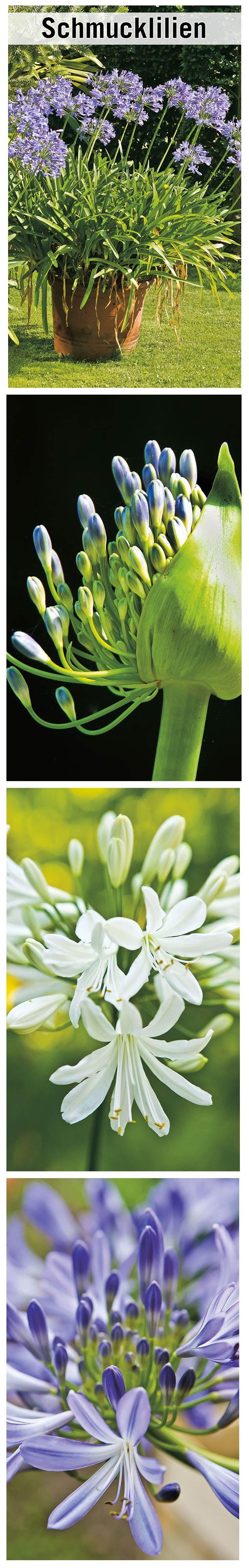 Schmucklilien sind tolle Zierpflanzen und dabei extrem unkompliziert. Wir erklären, wie sie Agapanthus kultivieren.