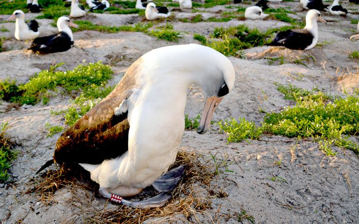 65 year old bird returns to land to lay egg. Wisdom, a Laysan albatross, spotted on Midway Atoll nature reserve with mate