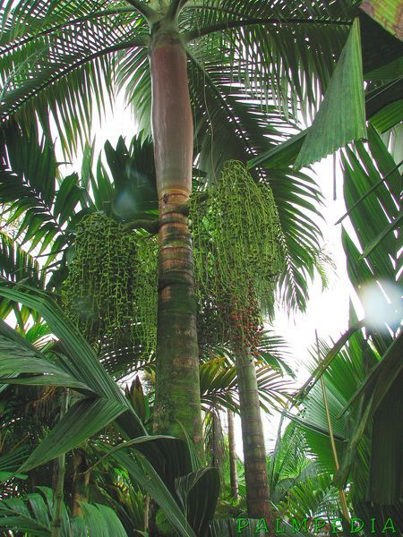 57 best tropical palms images on pinterest landscaping