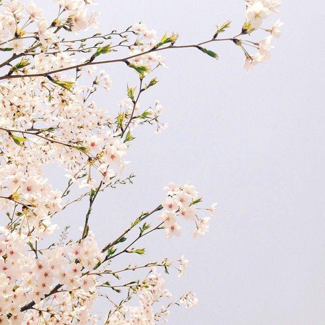✨톰코✨ @and_sweet 봄날 벚꽃 그리고 너,Instagram photo | Websta (Webstagram)