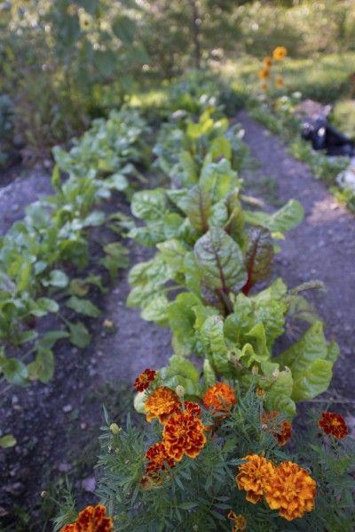 80 Best Companion Planting Images On Pinterest Companion 640 x 480