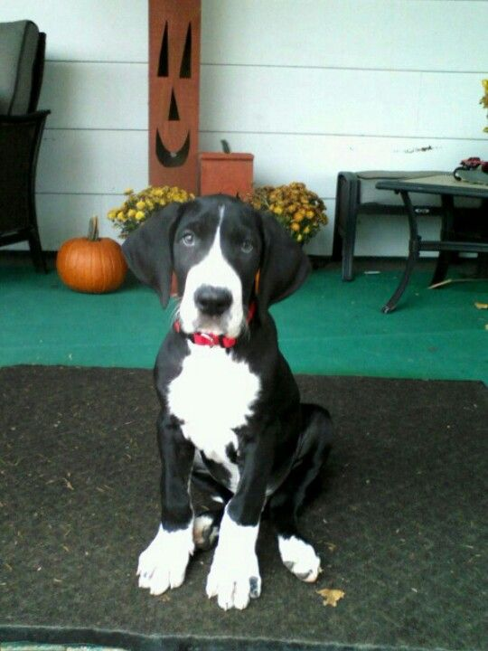 Major Mantle Great Dane @ 9weeks--ours is mixed with a pitbull. same colors- giant ears