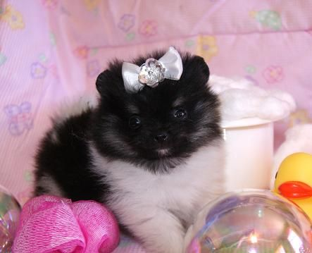 teacup pomeranian for sale az 17 best images about elegant t cup puppies for sale on 8512