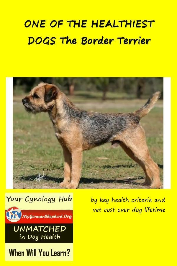 One Of The Healthiest Dogs The Border Terrier Aggressive Dog
