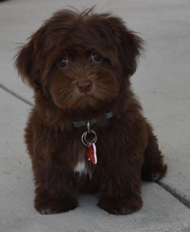 DENVER HAVANESE - PUPPY LIST