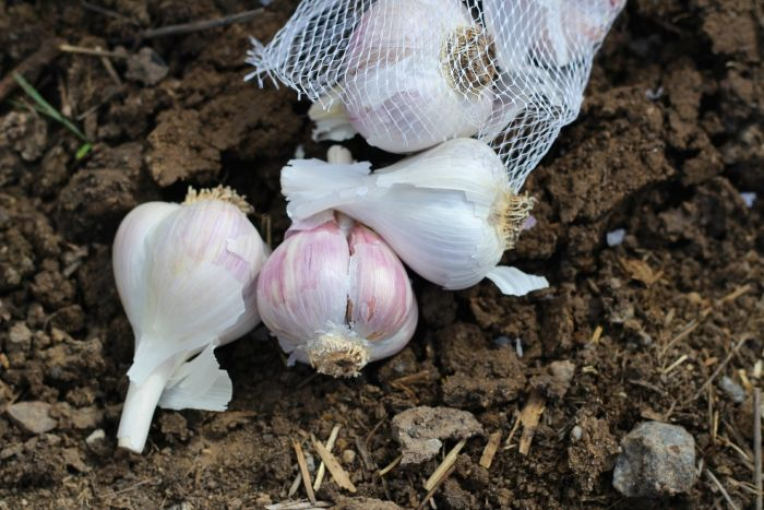 Learn how to plant garlic! It's easy to start in the fall, and you'll be rewarded with lovely homegrown cloves next summer.