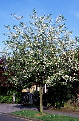 Prunus padus 'Watereri' (inheemse vogelkers), aantrekkelijke boom, overdadige witte bloesem, in brede (vochtige) border, heeft brede eironde kroon, vogels zijn dol op vruchtjes, oranje gele herfstkleur