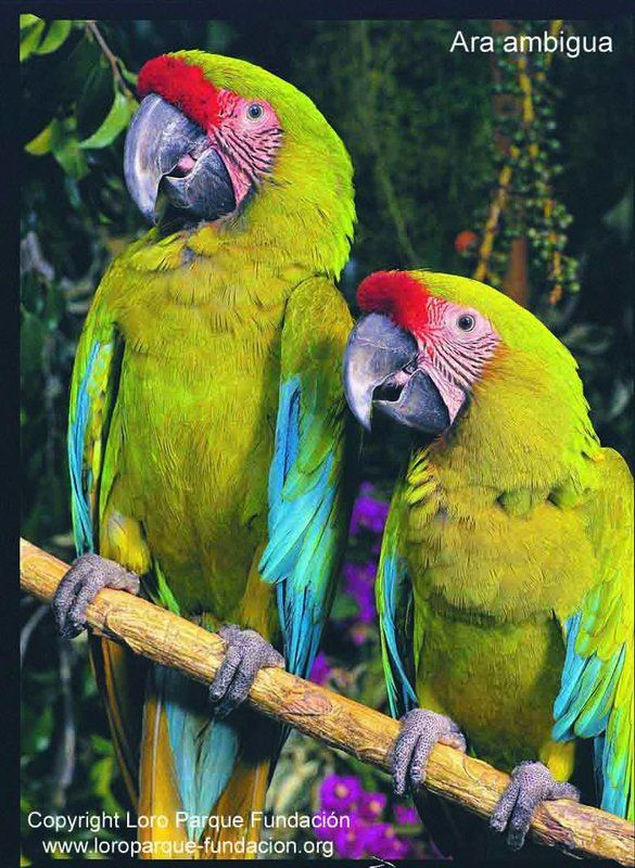 Great Green Macaw – Ara ambiguus