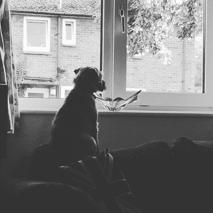 When's Dad home? #bt #btposse #borderterrier #borderterrieruk #bordersofinstagram #borderterriersofinstagram #dogsofinstagram