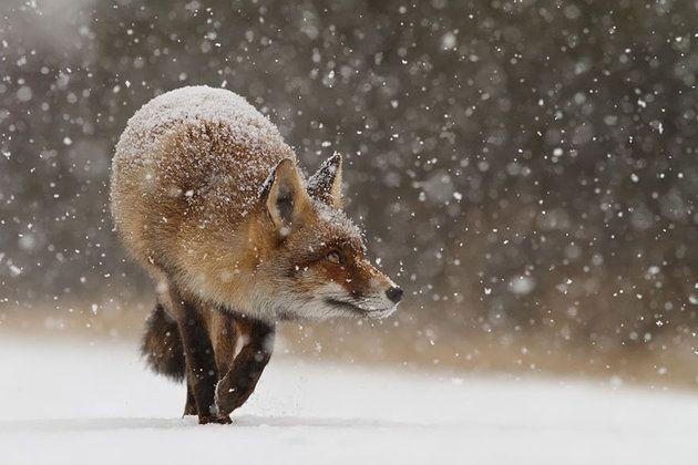 Jak robi lis? Czyli dzikie lisy Roeselien Raimond | Fotoblogia.pl