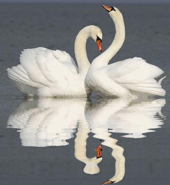 Лебеди гифка