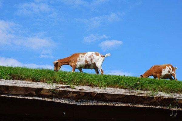 perierga.gr - Εστιατόριο με... κατσίκες στην οροφή του!