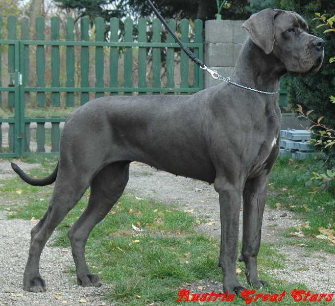 deutsche doggen | Deutsche Doggen of Austria Great Stars