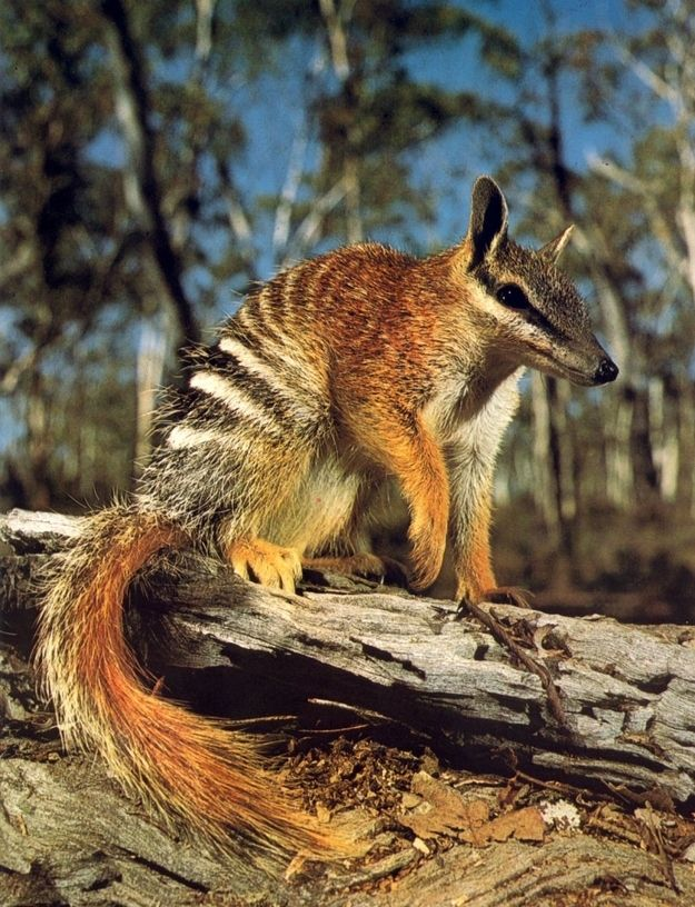 The numbat (Myrmecobius fasciatus), also known as the banded anteater, marsupial anteater, or walpurti, is a marsupial found in Western Australia. Its diet consists almost exclusively of termites. Once widespread across southern Australia, its range is now restricted to several small colonies, and it is listed as an endangered species.