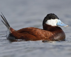 Hen Ruddy Duck