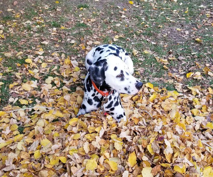 Resultado de imagen para dalmatian hojas