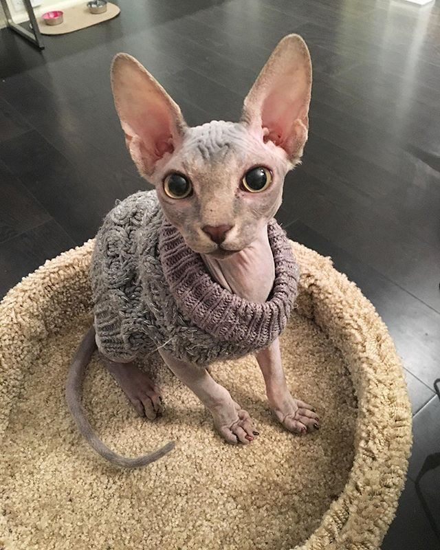 sweater weather // sphynx style