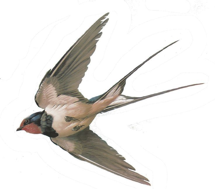 swallow tattoo realism | 1000+ ideas about Swallow Bird on Pinterest | Tree swallow, Birds and ...