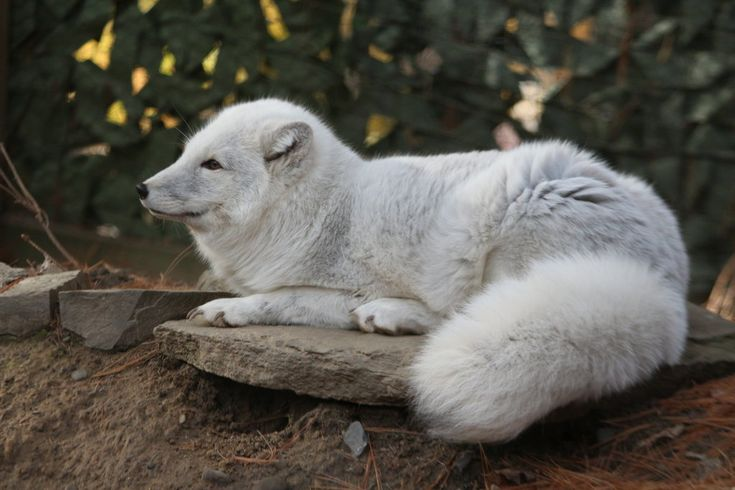 Handsome male arctic fox, August, from the Binghamton Zoo in Binghamton, NY. This was early spring so he still had his winter coat. Feel free to use as a reference or as stock for photo-manip...