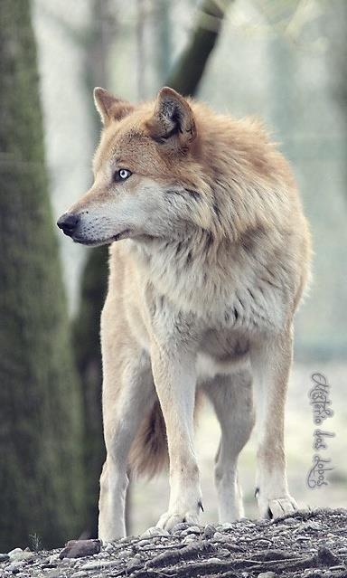 Lobo Russo