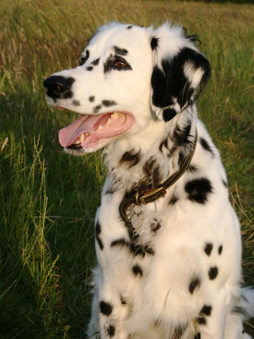 aww look at this long haired Dalmatian <3