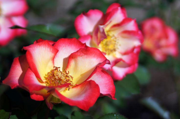 https://flic.kr/p/eaLay9 | Rose, Betty Boop, バラ, ベティ ブープ, | Rose, Betty Boop, バラ, ベティ ブープ, Floribunda rose フロリバンダ United States of America アメリカ合衆国 Carruth 1999