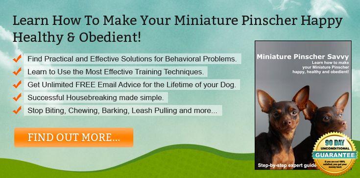 Miniature Pinscher Training Advice From The Experts #dog_training #miniature_pinscher_training