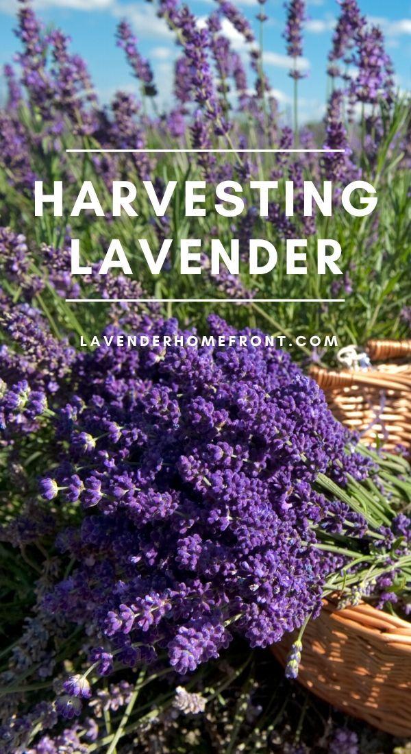 How To Harvest Lavender In 2020 Harvesting Lavender Lavender Plant Harvesting Herbs