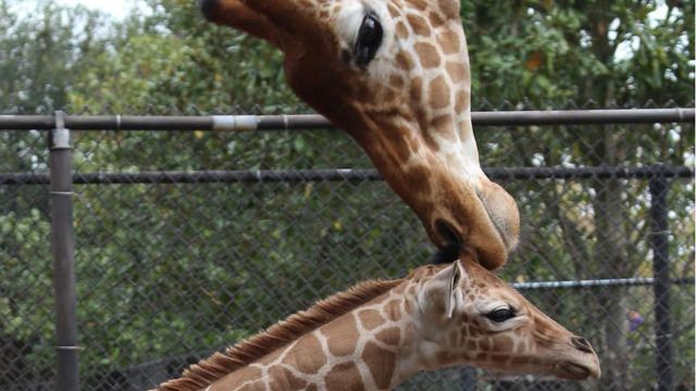 Baby boom at Florida zoo with arrivals of 2 giraffes