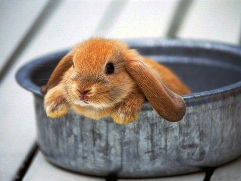 Bunny pie?Holland Lop, Pets, Baby Bunnies, Ears, Adorable, Bunnies Rabbit, Bowls, Bath Time, Animal