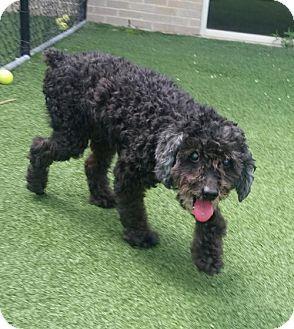 Dallas, TX - Poodle (Miniature) Mix. Meet Roussel, a dog for adoption. http://www.adoptapet.com/pet/15509029-dallas-texas-poodle-miniature-mix
