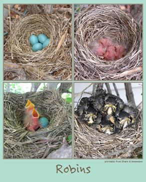 printable poster showing Robin eggs  as they grow into birds