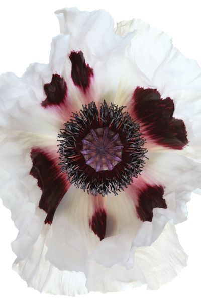 Oriental Poppy  (Papaver orientale) 'Royal Wedding'