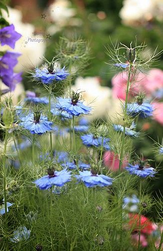 Blue nigella ...love this hard working little plant...the seed heads are very pretty too!