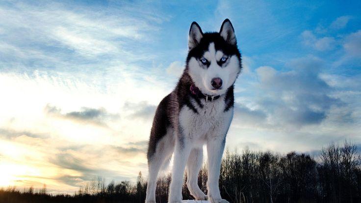 Lobos siberianos siempre leales
