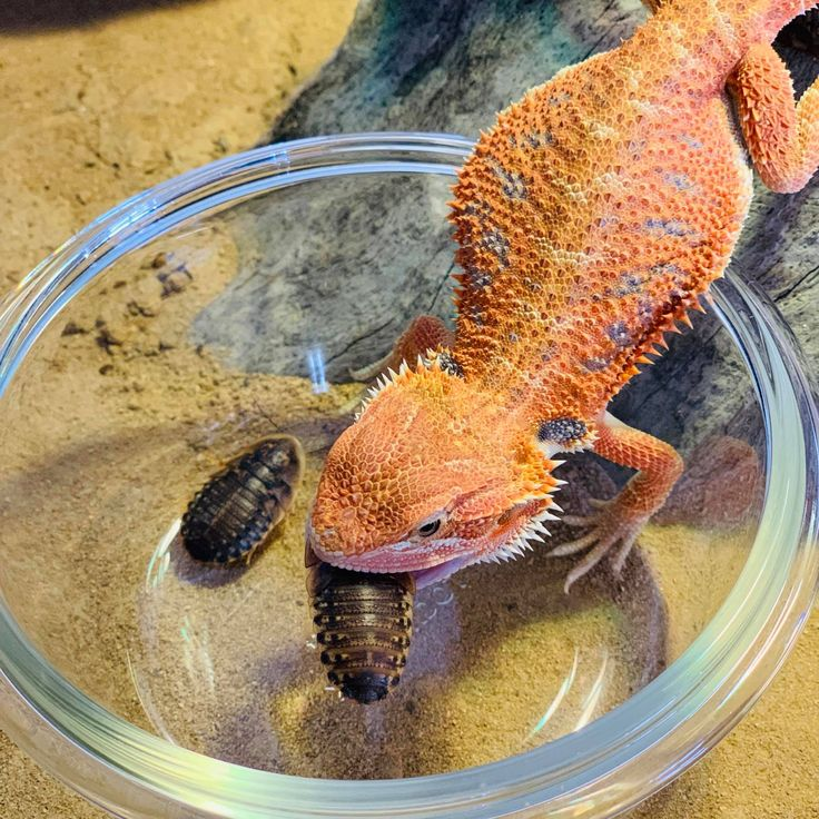 The Pet Enthusiast in 2020 (With images) Bearded dragon