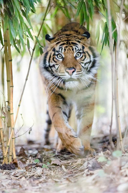The Sumatran Tiger ~ is a rare tiger subspecies that inhabits the Indonesian island of Sumatra by Alexander Harbich